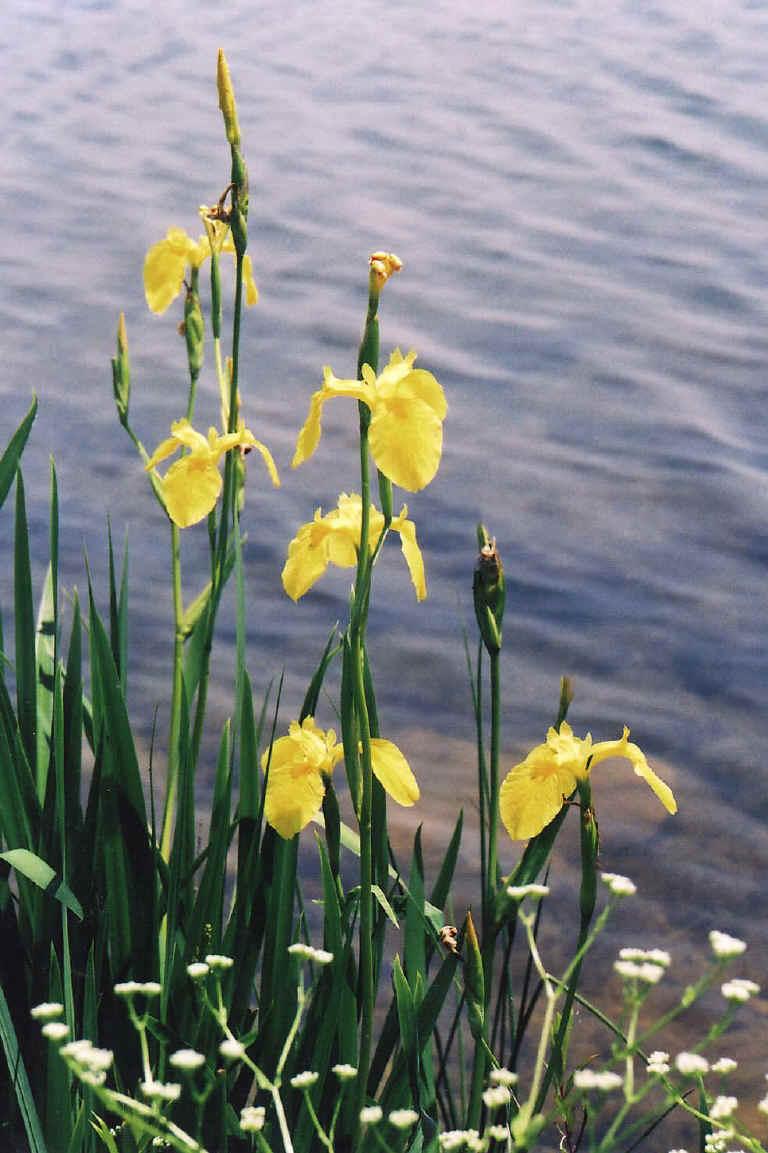 wfshl-iris-yel-15.jpg