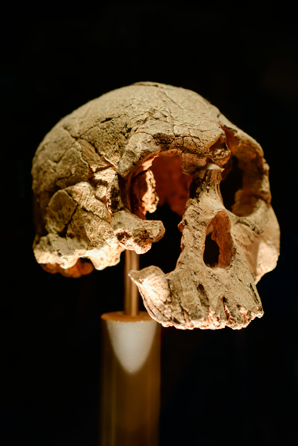 "Skull of   Australopithecus africanus   (""southern ape of Africa"")."