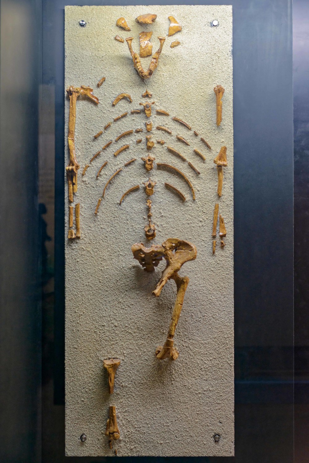 Lucy  is the partial skeleton of a 3.2-million-year-old  Australopithecus afarensis  from East Africa.It is arguably the most well-known hominid skeleton in the world. Dr Donald Johanson and his team discovered the skeleton in Hadar, Ethiopia, in 1974.