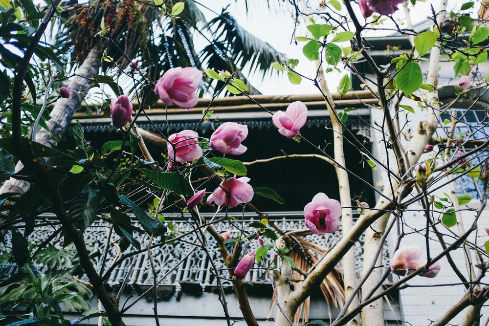 sydney magnolia flowers