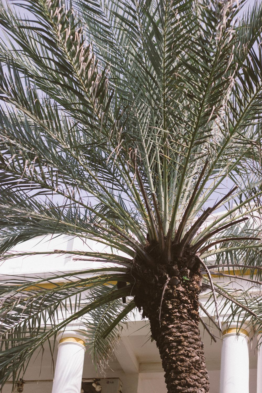 palm tree india