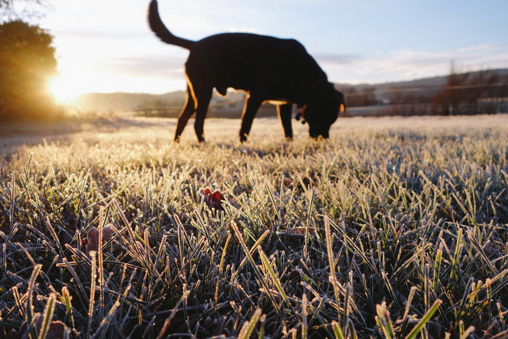 frost labrador