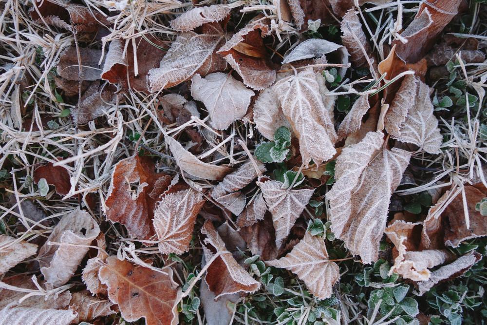 frozen leaves