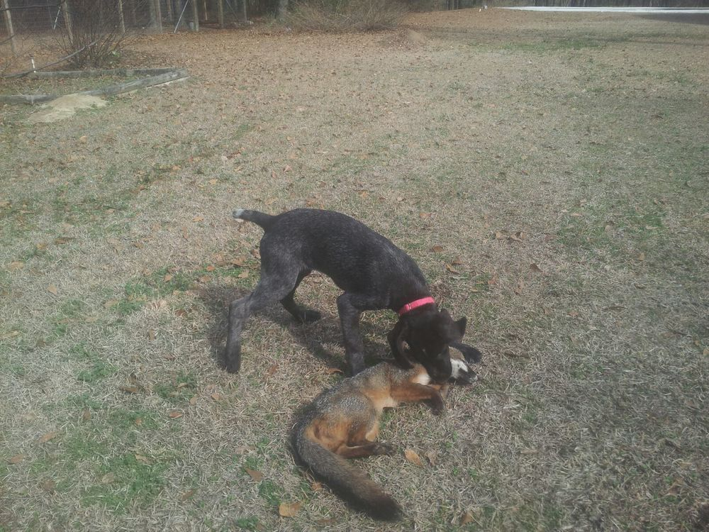 Aggie's first encounter with a fox.