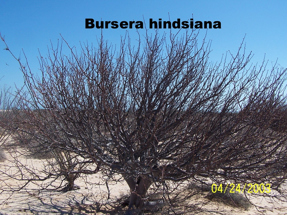 Bursera hindsiana.JPG