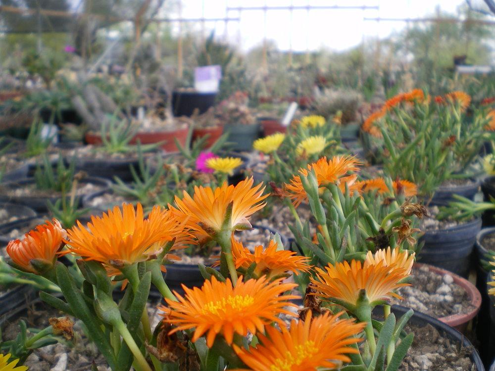 ice plant orange.JPG