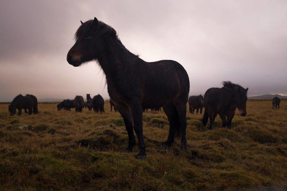 Icelandic Horses, 35mm Porta 400
