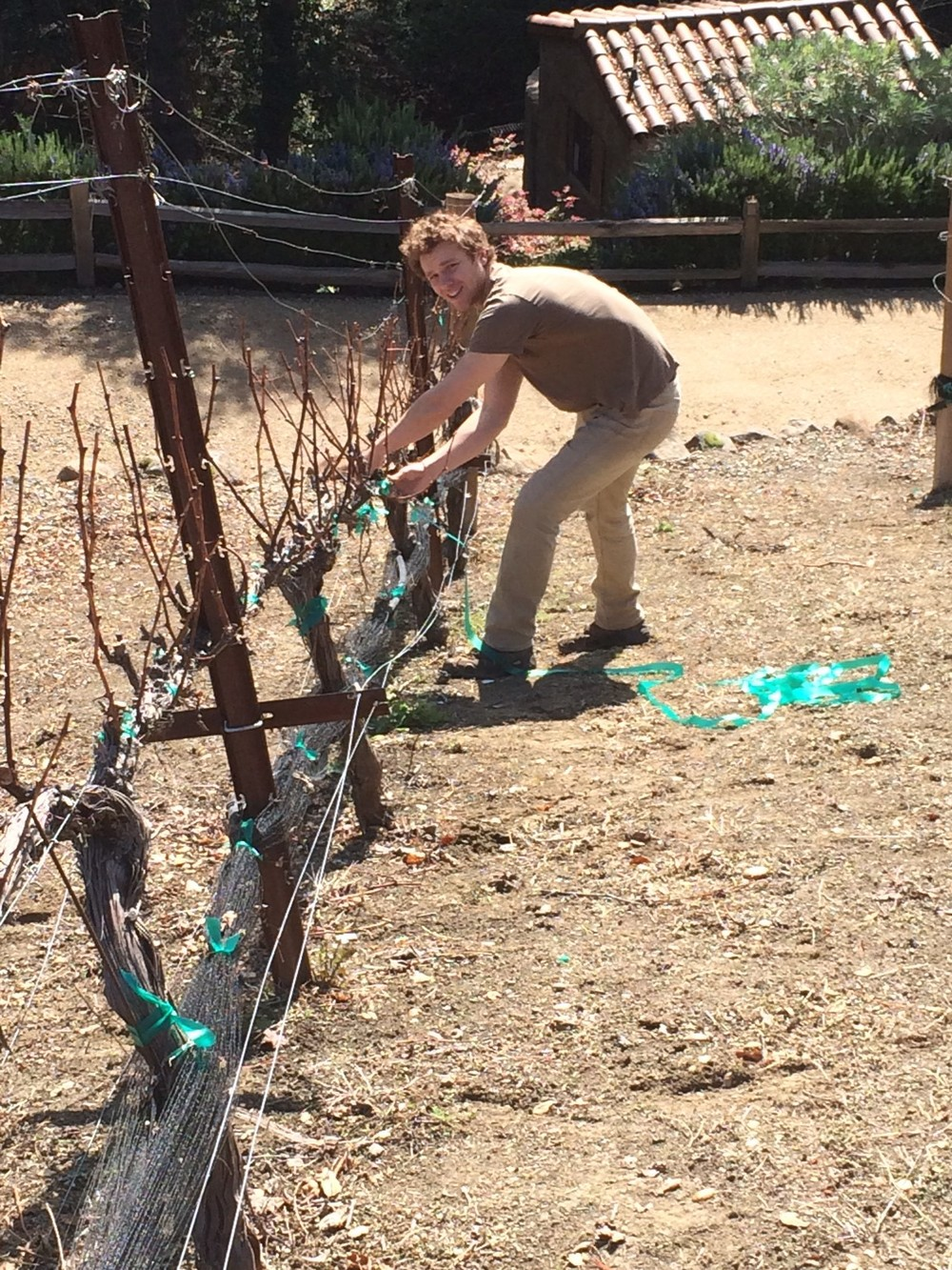 Tying the vines