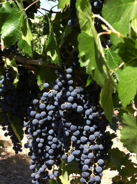 Perfectly ripened Syrah grapes, ready to be plucked from the vine
