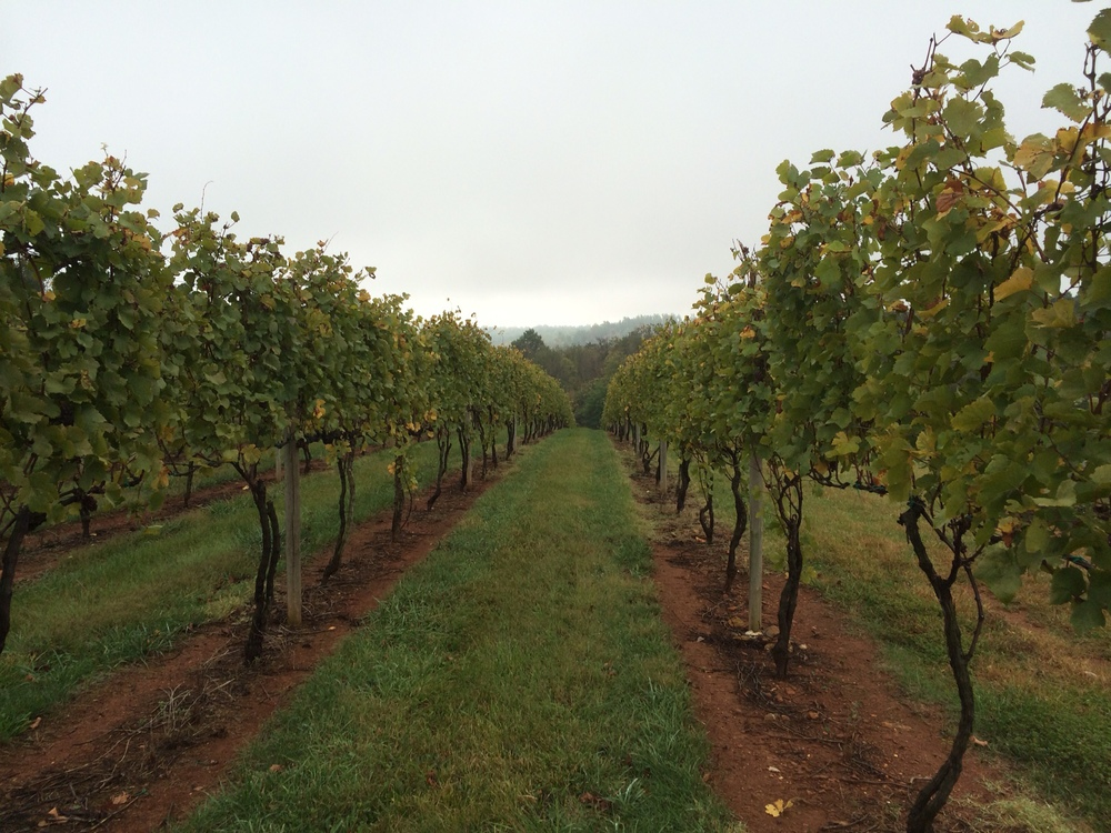 The vines at Pollak Vineyards, right before harvest.