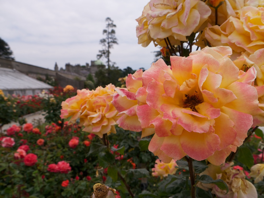 Another great macro. Color depth is great as well. There were beautiful rose gardens in the estate.