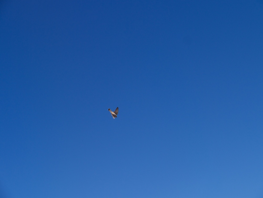 The GX1 did a decent job of capturing it swooping down.