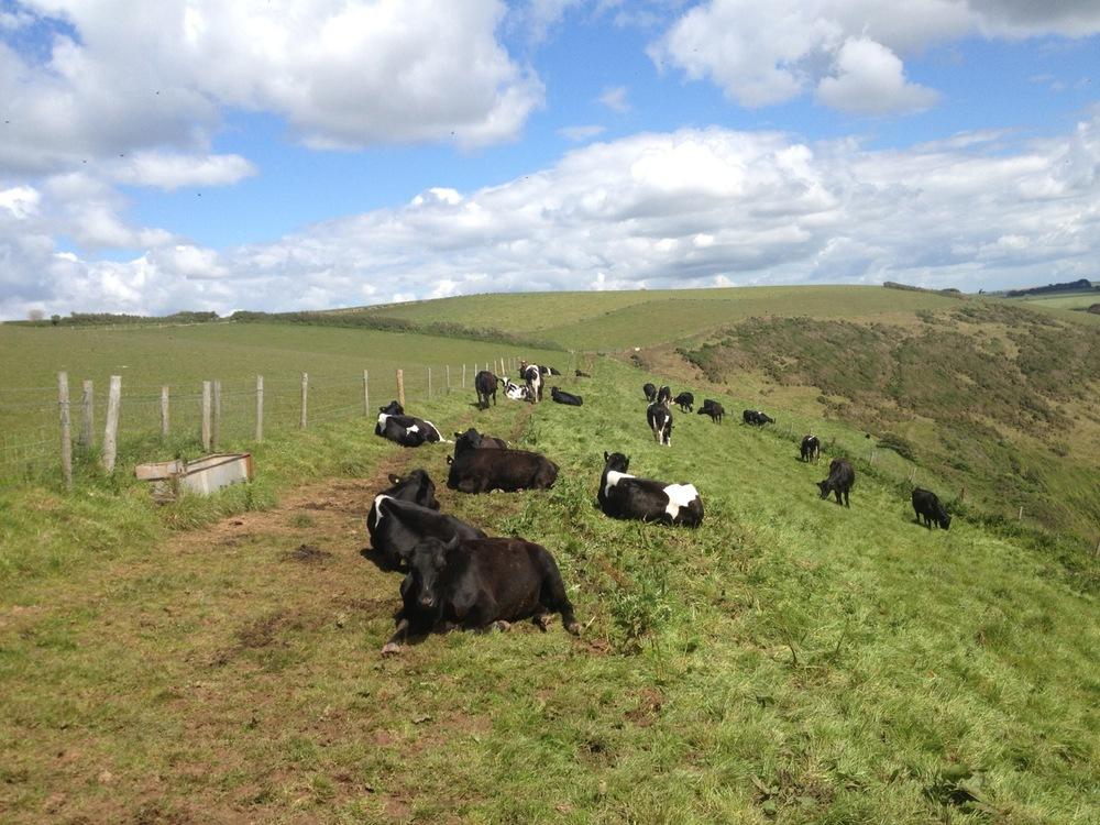 cows blocking the path