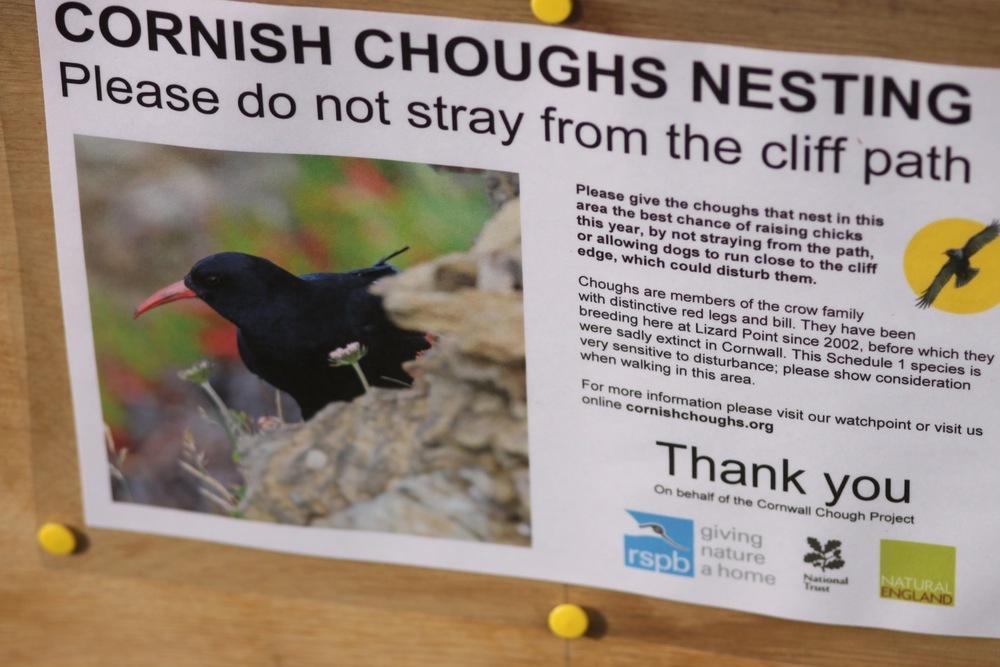 cornish choughs
