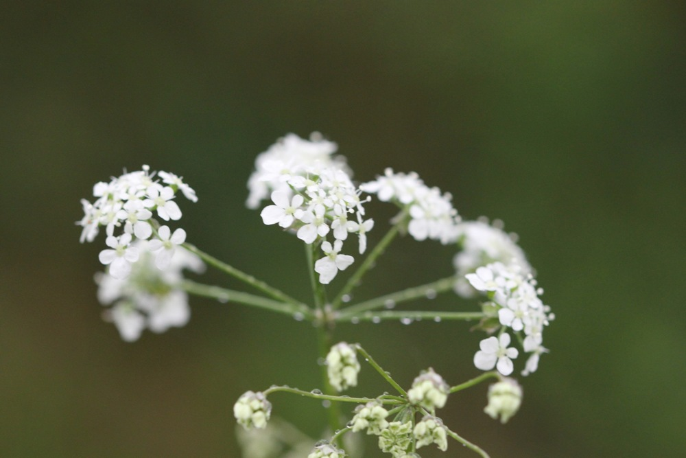 cow parsley.jpg