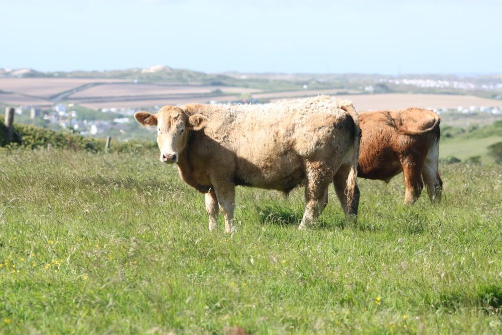 cows 4.jpg