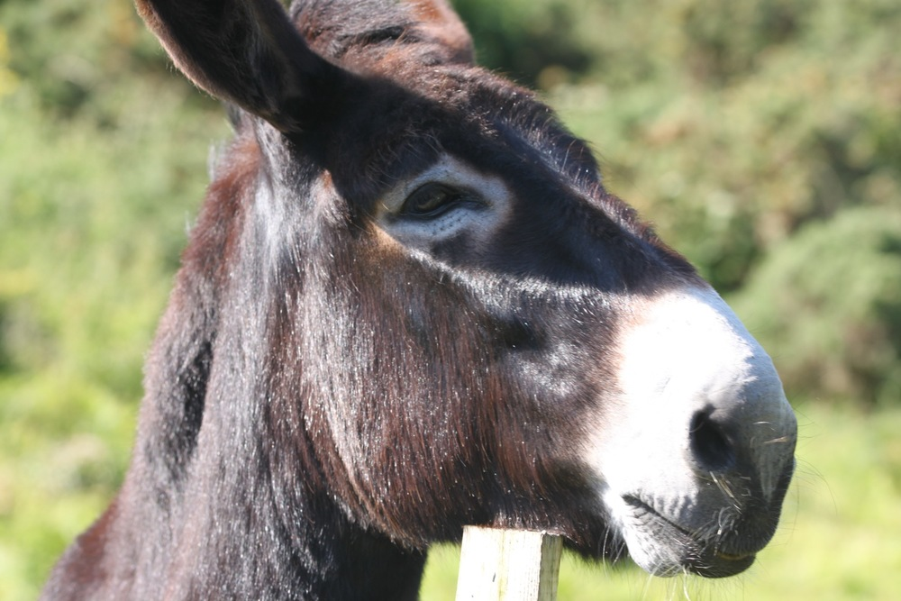 one of the friendly donkeys