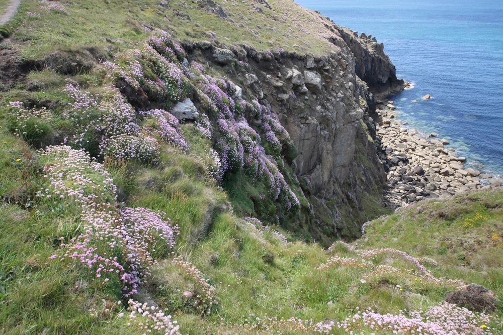 sea thrift on rocky cliffs
