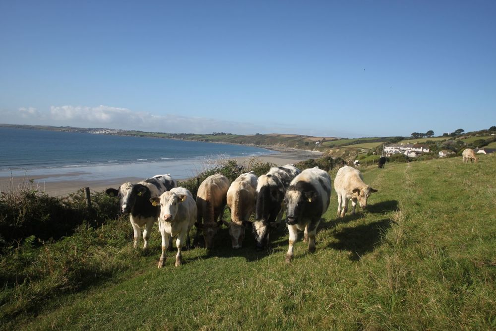 cows over carne beach
