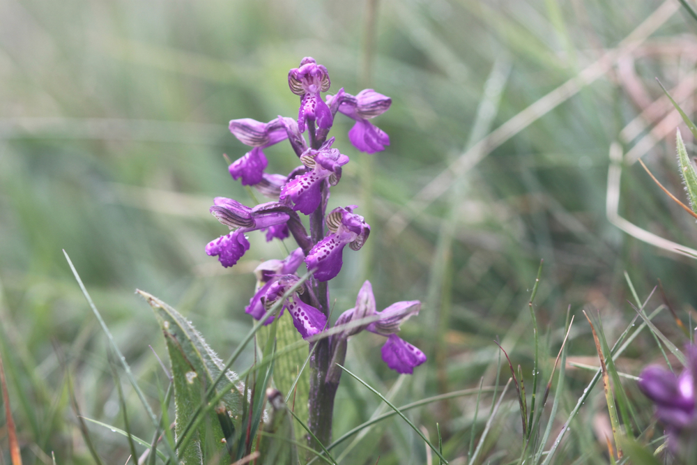 green winged orchid 2.jpg