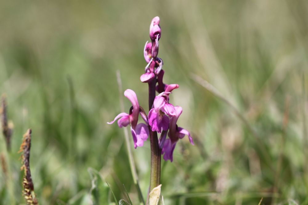 early purple orchids 1.jpg
