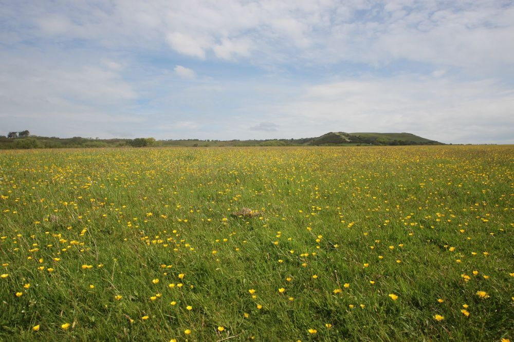 buttercups as far as the eye can see