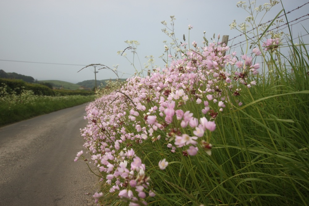 cuckooflower on the road to abbotsbury