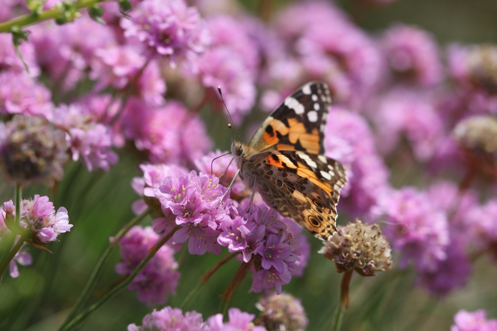 painted lady 3.jpg