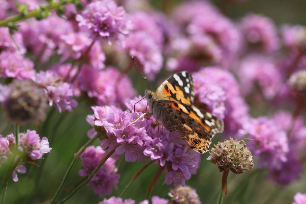 painted lady 4.jpg