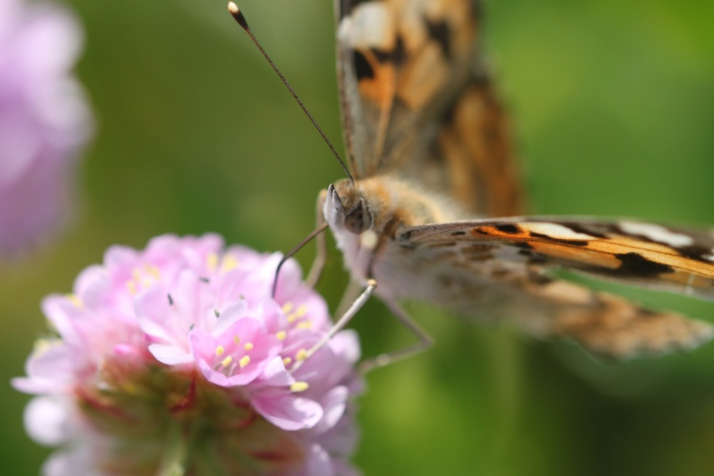 painted lady 5.jpg