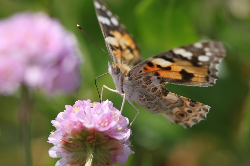painted lady 6.jpg