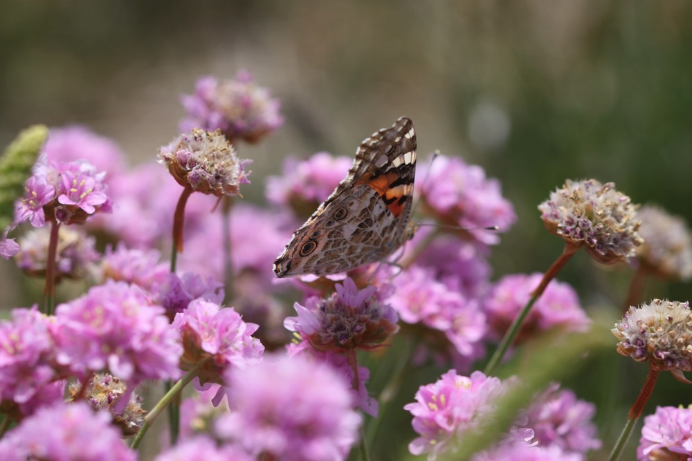 painted lady 7.jpg
