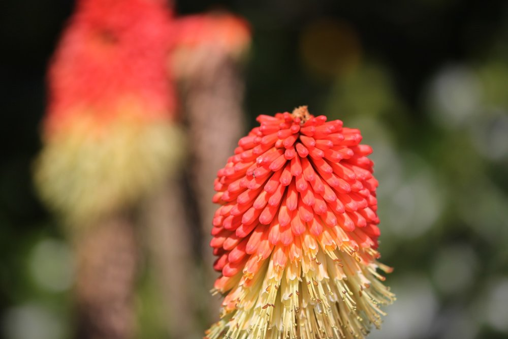 red hot pokers 7.jpg
