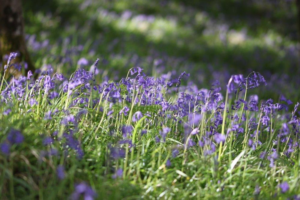 bluebells everywhere!
