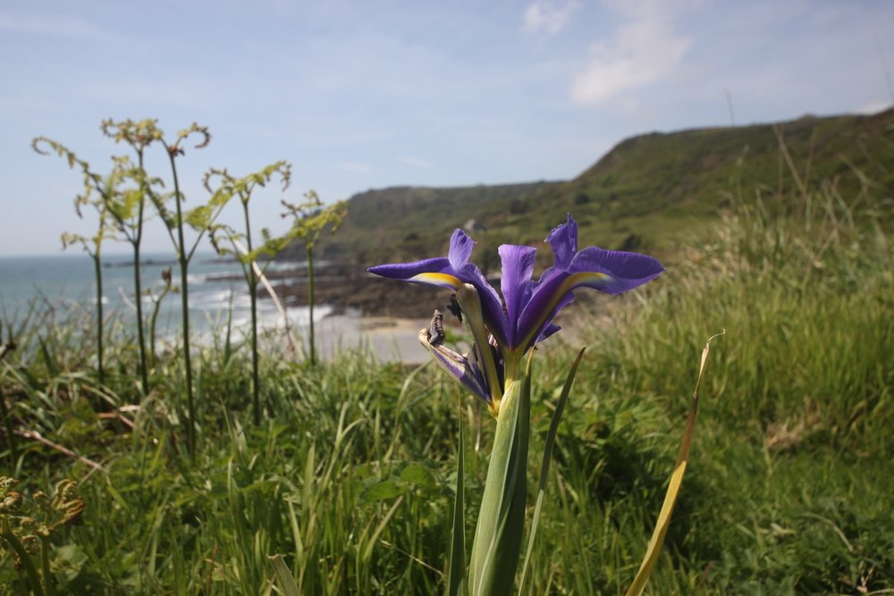 lone iris looking out to sea