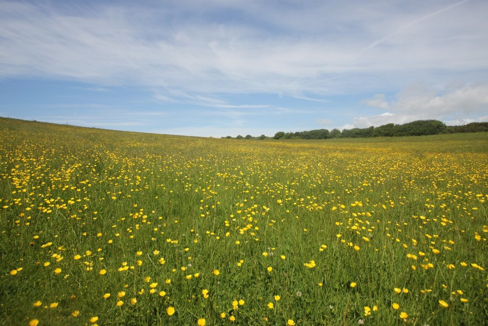 field full of buttercups
