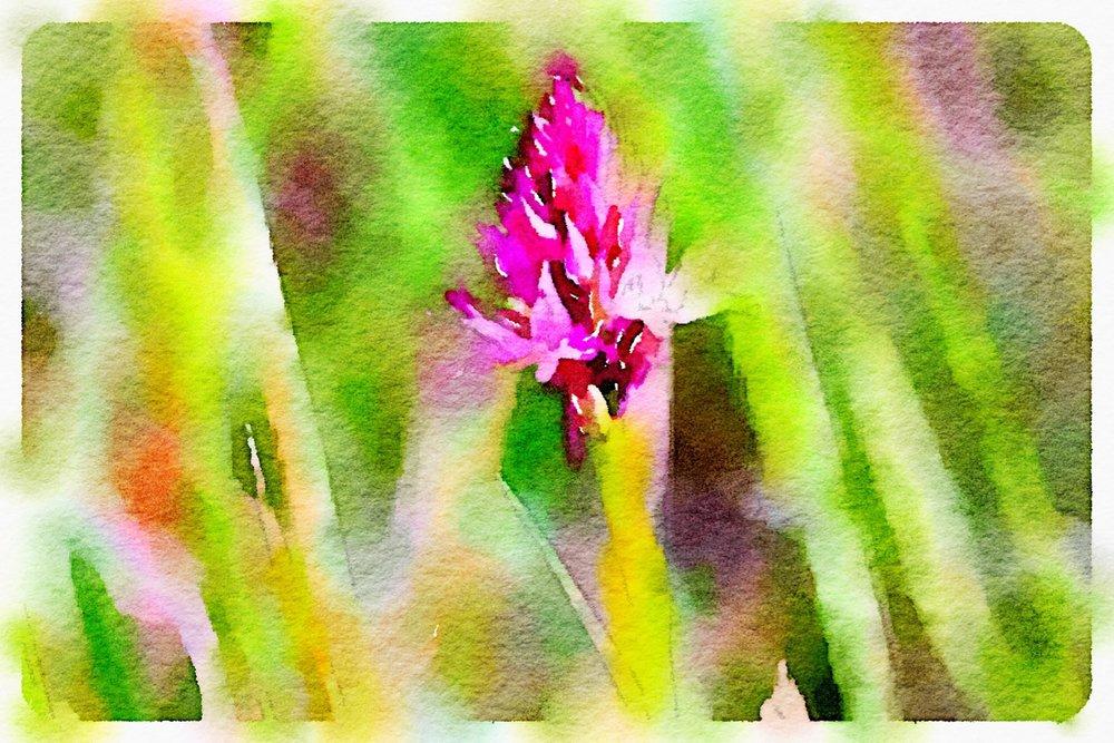 pyramidal orchid