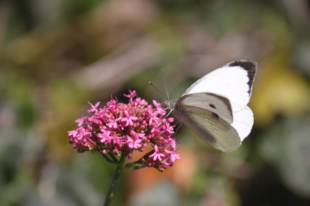butterflies 4.jpg
