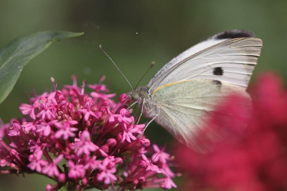 butterflies 6.jpg