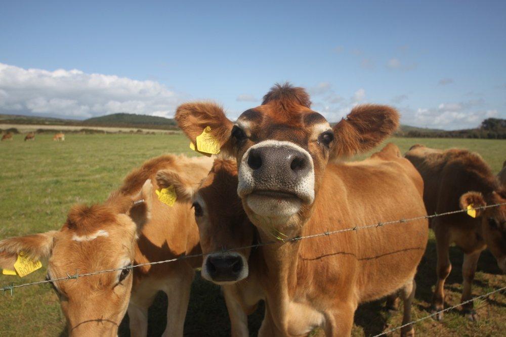 herd of friendly cows