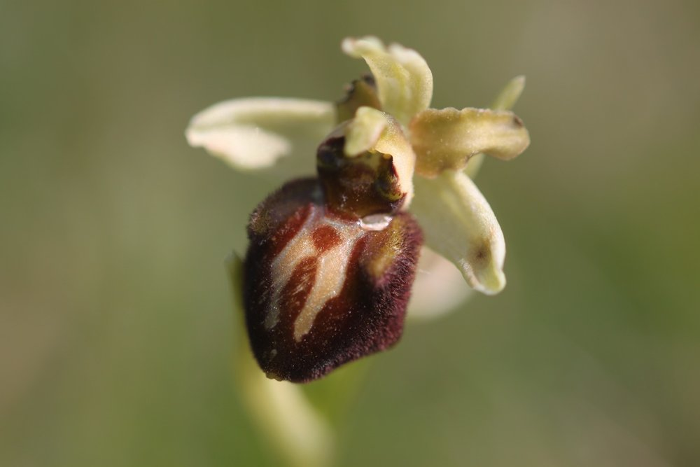 early spider orchids 5.jpg