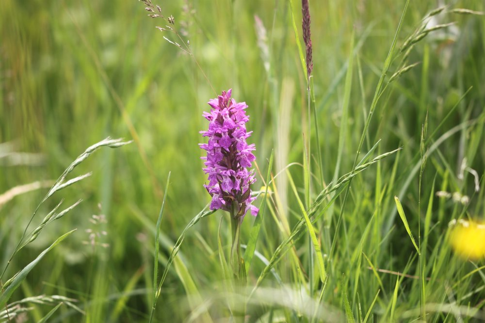 southern marsh orchid 5.jpg