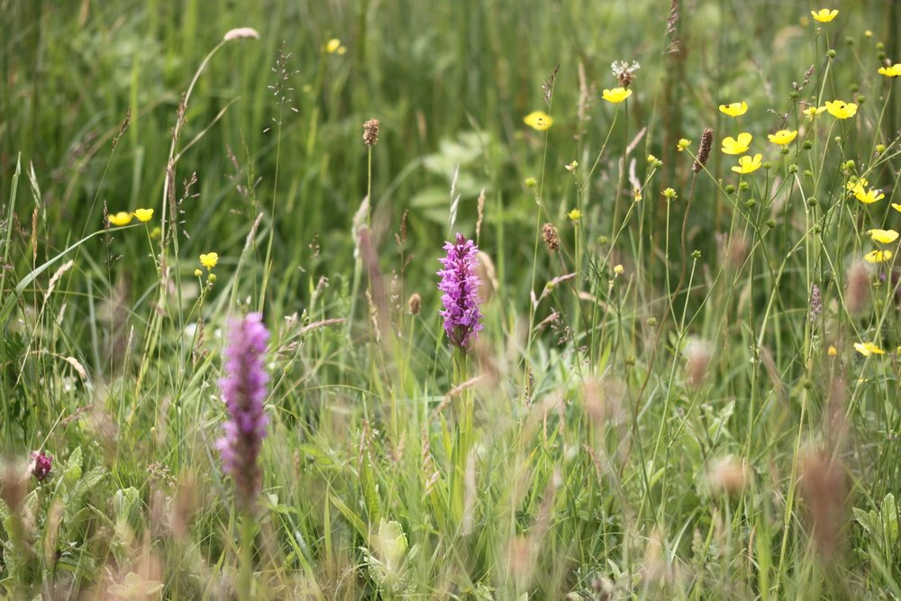 southern marsh orchid 6.jpg