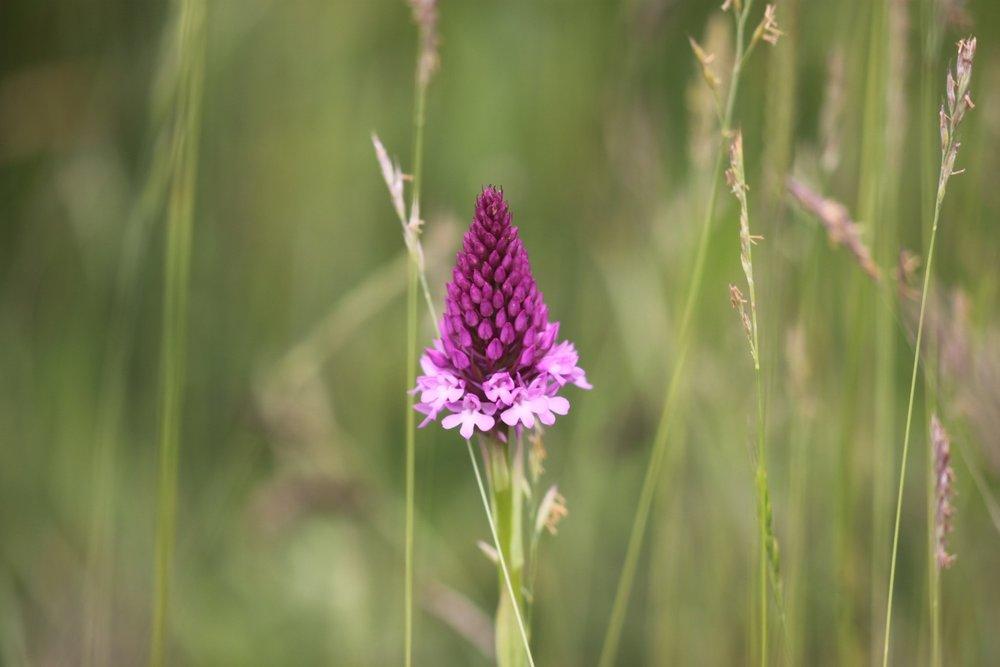 pyramidal orchid 2.jpg