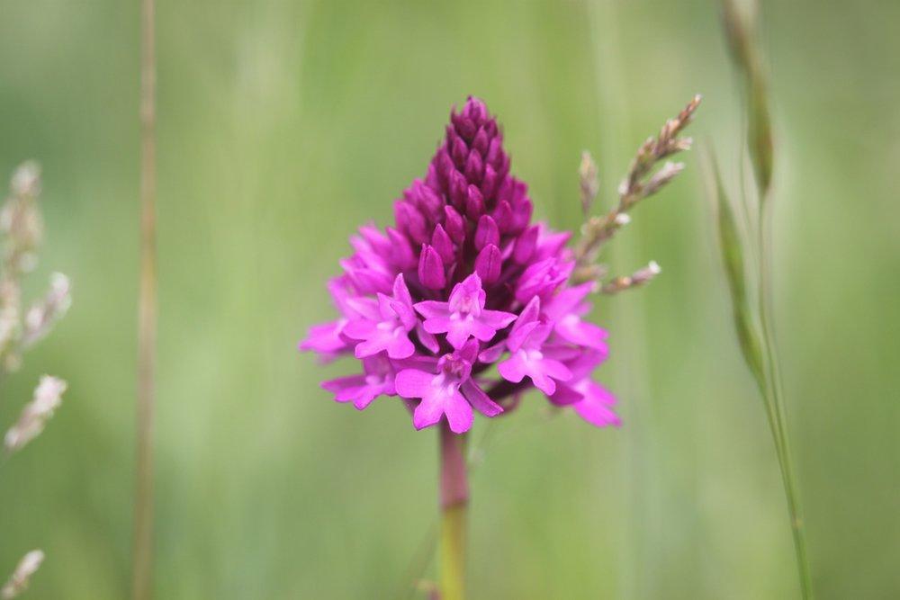 pyramidal orchid 5.jpg