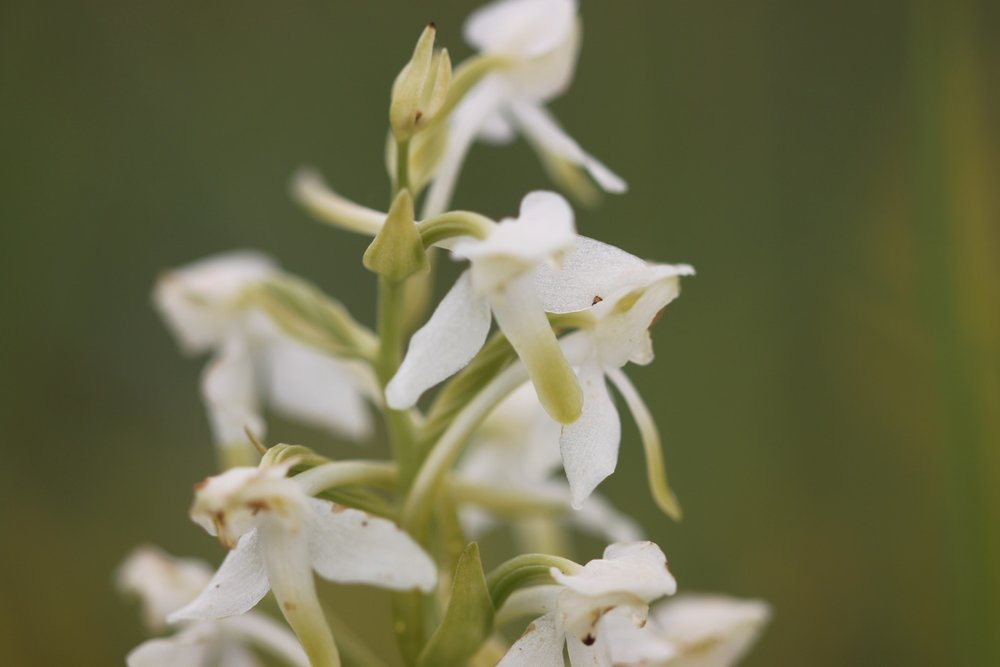 greater butterfly orchid 3.jpg
