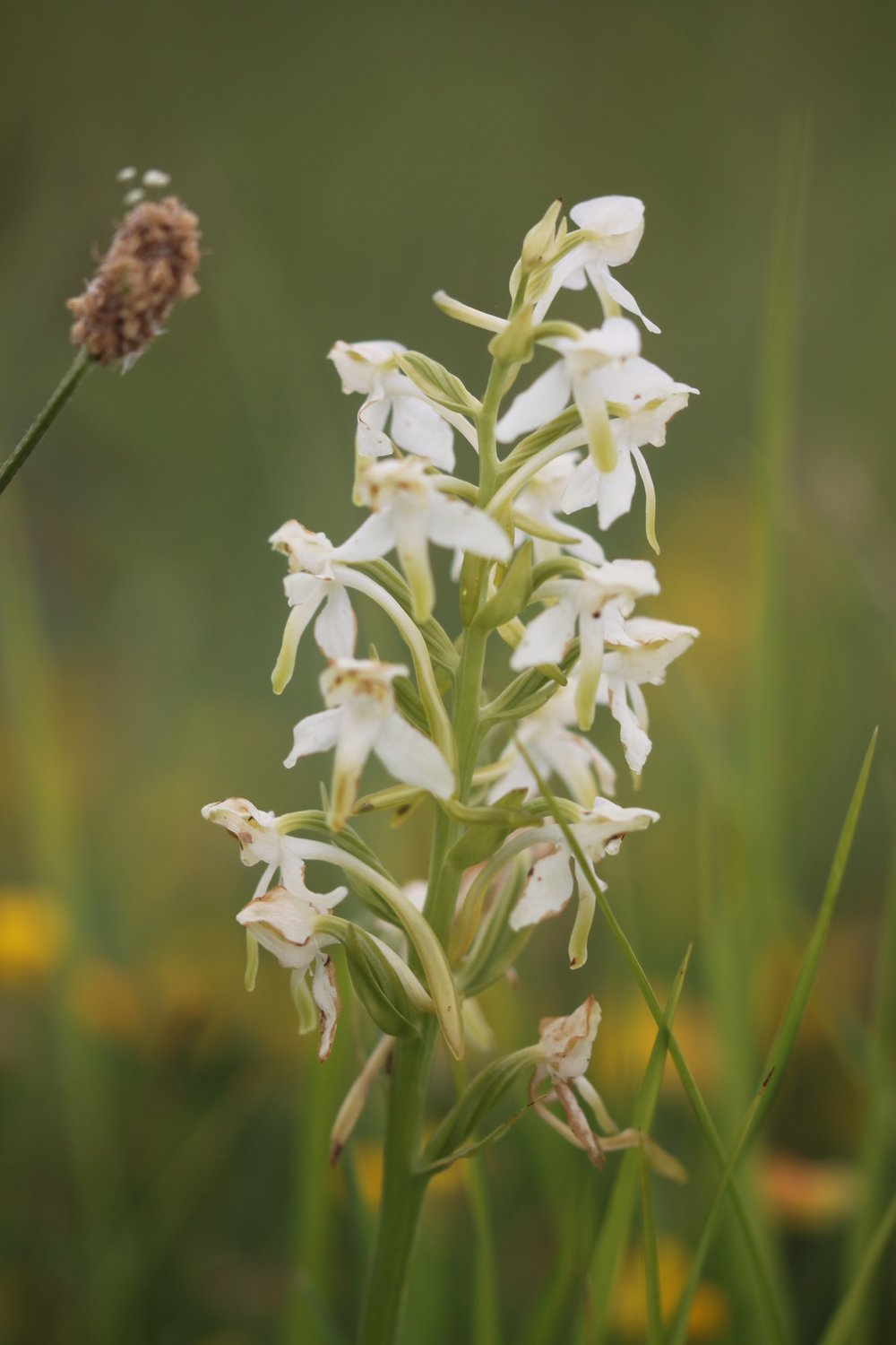 greater butterfly orchid 2.jpg