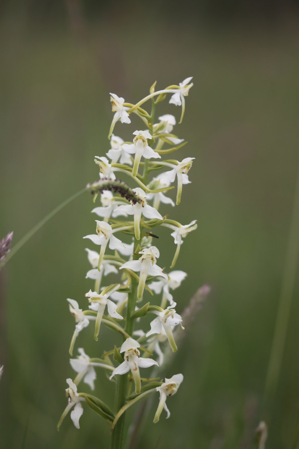 greater butterfly orchid 4.jpg