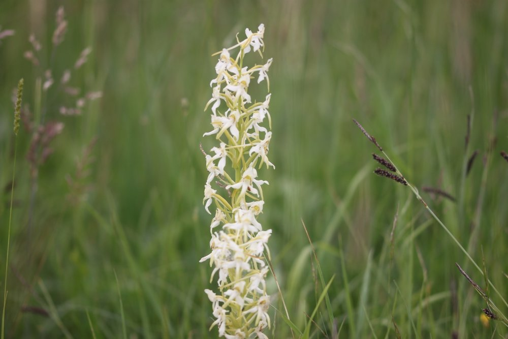 greater butterfly orchid 5.jpg