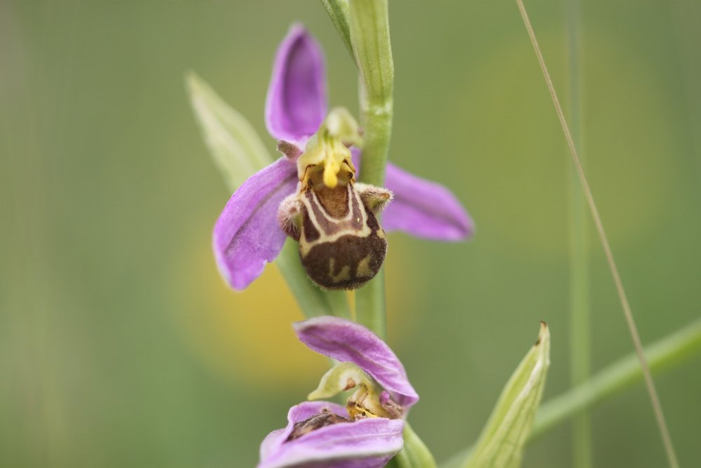 bee orchid 5.jpg